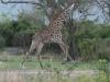 Giraffe galoppiert