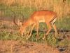 Impala entflammt