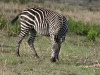 Zebra posiert