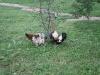 Hühner im Vorgarten gehören dazu