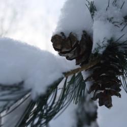 Verschneite Kiefernzapfen im Winter 2010/2011