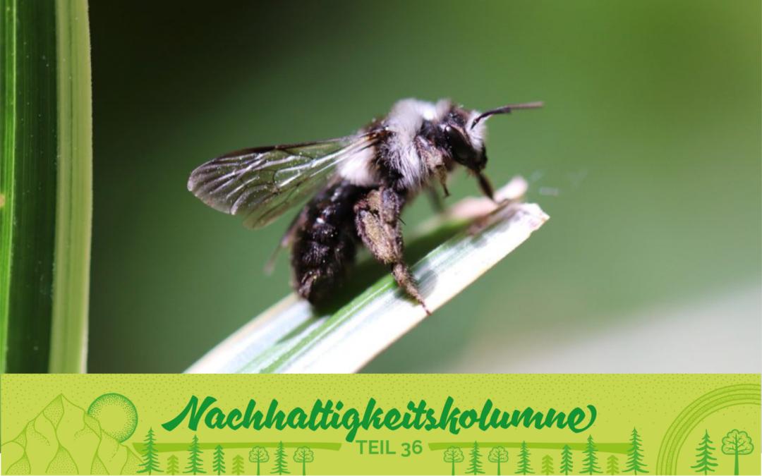 Honigbiene vs. Wildbiene